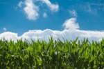 pole kukurydzy - uprawa kukurydzy