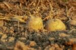 uprawa ziemniaka, ziemniaki